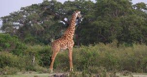Jirafa del Masai, tippelskirchi de los camelopardalis del giraffa, adulto que se coloca en sabana, Masai Mara Park en Kenia, almacen de video