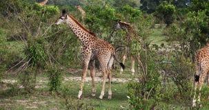 Jirafa del Masai, tippelskirchi de los camelopardalis del giraffa, grupo que se coloca en sabana, Masai Mara Park en Kenia, metrajes