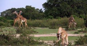 Jirafa del Masai, tippelskirchi de los camelopardalis del giraffa, grupo que se coloca en sabana, Masai Mara Park en Kenia, almacen de metraje de vídeo