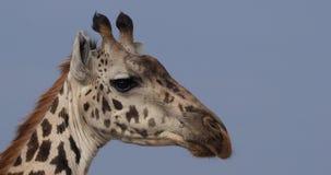 Jirafa del Masai, tippelskirchi de los camelopardalis del giraffa, retrato del adulto, Masai Mara Park en Kenia, almacen de video