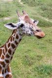 Jirafa del primer en el parque zoológico Imagen de archivo libre de regalías