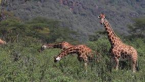 Jirafa del ` s de Rothschild, rothschildi de los camelopardalis del giraffa, consumición Bush, Nakuru Park de la manada en Kenia almacen de video