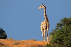 Jirafa, desierto de Kalahari, Suráfrica Fotos de archivo libres de regalías
