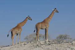 Jirafa en África Fotos de archivo