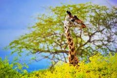 Jirafa en arbusto. Safari en Tsavo del oeste, Kenia, África Imagen de archivo