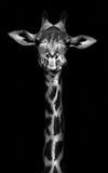 Jirafa en blanco y negro imagenes de archivo