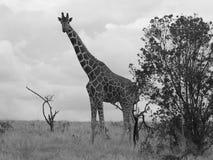 Jirafa en blanco y negro Fotos de archivo