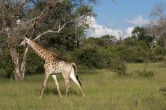 Jirafa en el desierto en África Fotografía de archivo libre de regalías