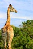 Jirafa en el hábitat de Suráfrica Foto de archivo libre de regalías