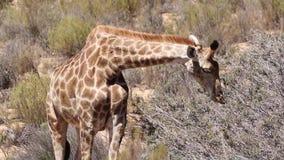 Jirafa en el Kalahari almacen de metraje de vídeo