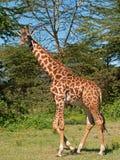 Jirafa en el lago Naivasha, Kenia Fotos de archivo libres de regalías