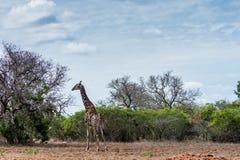 Jirafa en el parque de Kruger Imagenes de archivo