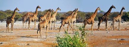 Jirafa en el parque nacional de Etosha Fotos de archivo