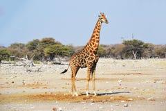 Jirafa en el parque nacional de Etosha Imágenes de archivo libres de regalías
