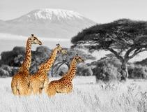 Jirafa en el parque nacional de Kenia foto de archivo