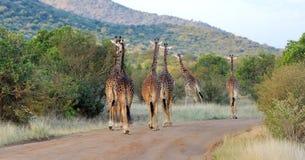 Jirafa en el parque nacional de Kenia Fotografía de archivo libre de regalías