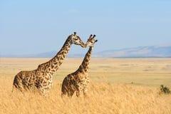 Jirafa en el parque nacional de Kenia Fotografía de archivo