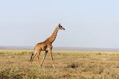 Jirafa en el parque nacional de Kenia Imagen de archivo