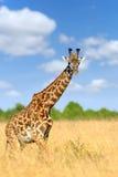 Jirafa en el parque nacional de Kenia Fotos de archivo