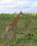 Jirafa en el parque nacional de Kruger Foto de archivo