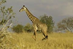 Jirafa en el parque nacional Kenia África de Tsavo Fotos de archivo libres de regalías