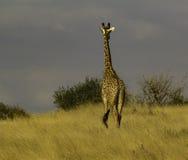 Jirafa en el parque nacional Kenia África de Tsavo Imagen de archivo