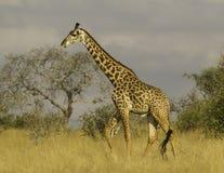 Jirafa en el parque nacional Kenia África de Tsavo Fotos de archivo
