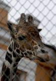 Jirafa en el parque zoológico Foto de archivo