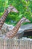 Jirafa en el parque zoológico Foto de archivo libre de regalías