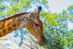 Jirafa en el parque zoológico Fotos de archivo libres de regalías