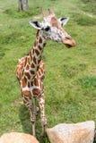 Jirafa en el parque zoológico Imágenes de archivo libres de regalías