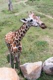 Jirafa en el parque zoológico Fotos de archivo