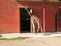 Jirafa en el parque zoológico de Kaunas fotos de archivo libres de regalías