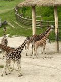 Jirafa en el parque zoológico Praga Fotos de archivo