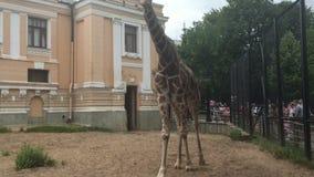 Jirafa en el parque zoológico Rusia de Moscú metrajes