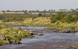 Jirafa en el río de Mara Foto de archivo