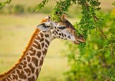 Jirafa en el salvaje Un animal con un cuello largo Mundo salvaje de t fotos de archivo