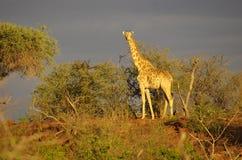 Animales africanos meridionales Fotografía de archivo