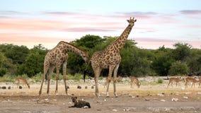 Jirafa en Etosha con la hiena pelada, fauna del safari de Namibia metrajes