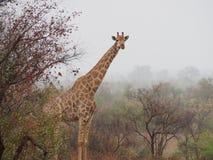 Jirafa en la niebla en África imagen de archivo libre de regalías