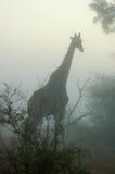 Jirafa en la niebla Fotos de archivo