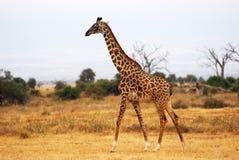 Jirafa en la sabana africana Fotos de archivo