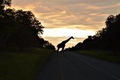 Jirafa en la salida del sol Foto de archivo libre de regalías