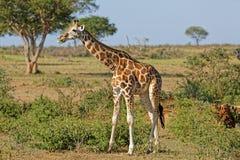 Jirafa en las cataratas Murchison Uganda Imagen de archivo libre de regalías