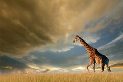 Jirafa en los llanos africanos Foto de archivo libre de regalías
