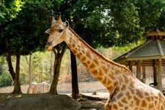 Jirafa en mamífero de la fauna de la naturaleza fotos de archivo libres de regalías