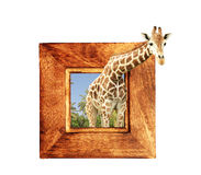 Jirafa en marco de madera con el efecto 3d Fotografía de archivo
