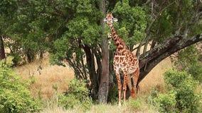 Jirafa en Masai Mara almacen de video
