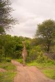 Jirafa en parque nacional del kruger Foto de archivo libre de regalías