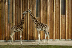 Jirafa en parque zoológico Fotografía de archivo